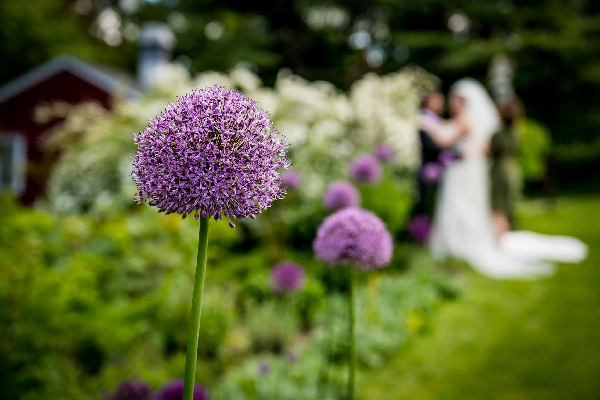 Beautiful Allium flower with bride and groom out of focus in the background at Camrose Hill Flower Farm