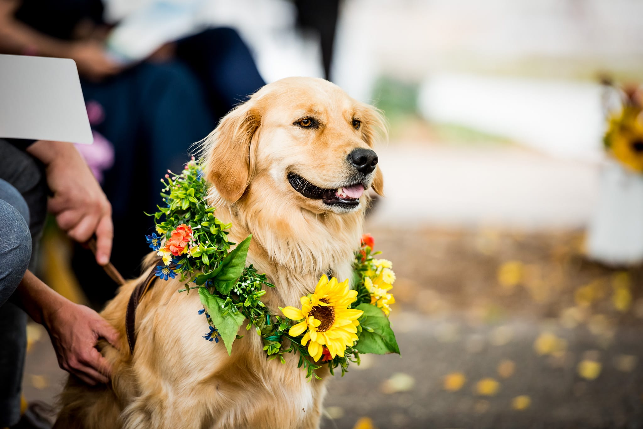 Close up portrait of the ring bearer, a golden retriever, wearing flowers and watching his mom and dad get married during a Nicollet Island Pavilion wedding in Minneapolis